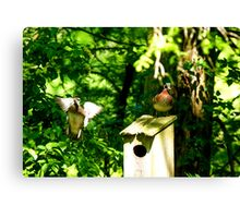 Female Woodduck Joining Male Canvas Print