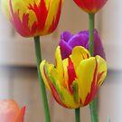 Spring Tulips by kkphoto1