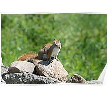 Cute little Red Squirrel Poster