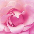 Soft pink rose by shalisa