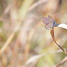 Torn Wing resting on Dried Grass by lindsycarranza