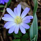 Blue Anemone by Paula Tohline  Calhoun
