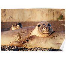 Elephant seals  Poster