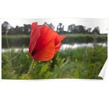 Poppy over river Poster
