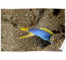 Blue-ribbon Eel - Rhinomuraena quaesita Poster
