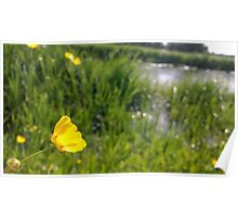 Buttercup over river in norfolk Poster