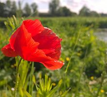 Poppy on river in norwich by Connor Bartlett