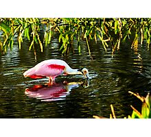 Roseate Spoonbill Feeding Photographic Print