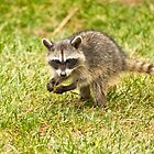 Baby Racoon by Diana Graves Photography