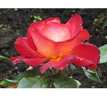 A rose named Pigalle Photographic Print