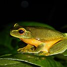 Graceful Treefrog  - ( Litoria gracilenta ) Clifton Beach FNQ by john  Lenagan