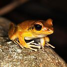Stony Creek Frog - ( Litoria lesueuri  ) male  - Clifton Beach FNQ by john  Lenagan