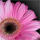 Pink Gerbera  by Maree Toogood