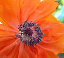 Orange Poppy by lornakay