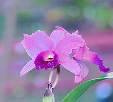 Pink Orchid Print. by Virginia McGowan