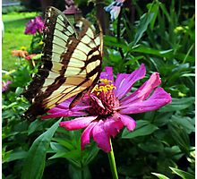 The Butterfly and The Zinnia Photographic Print