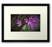 Judas Tree Flower Framed Print