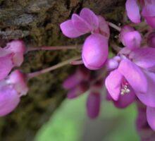 Judas Tree Flower Sticker