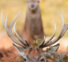 Red deer stags by thommoore