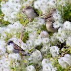 Contented sparrows by missmoneypenny