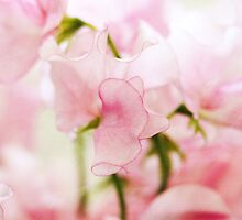 Fragile Lathyrus Beauty by MaureenAstrid
