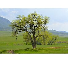 Green tree in Livermore Photographic Print