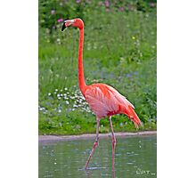 Caribbean Flamingo! Photographic Print