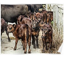 Beef Calves Watercolor Poster