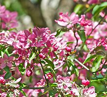 Pink Crabapple 3 by Carolyn Clark
