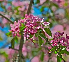 Pink Crabapple 6 by Carolyn Clark