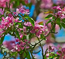 Pink Crabapple 8 by Carolyn Clark