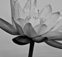 Peaceful Lotus Flower (B & W) Sticker