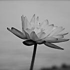 Peaceful Lotus Flower (B & W) by Margaret Stanton