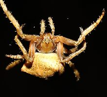 Orb Web Weaving Spider(Araneus acuminatum) by Andrew Bonnitcha