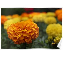 Marvelous Marigolds Poster