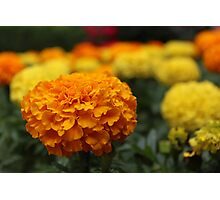 Marvelous Marigolds Photographic Print