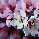 Spring Explosion by Julie Thomas