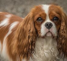 Cavalier King Charles Spaniel by alan tunnicliffe