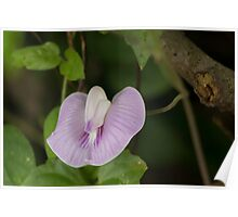 Centro Butterfly Pea Poster