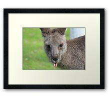 Kangaroo giving a raspberry - Halls Gap Framed Print
