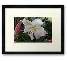 White lilly at the RHS Chelsea Flower Show Framed Print