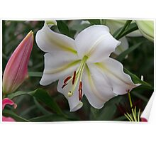 White lilly at the RHS Chelsea Flower Show Poster