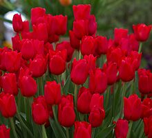 Red tulips at the RHS Chelsea Flower Show by Keith Larby