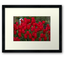 Red tulips at the RHS Chelsea Flower Show Framed Print