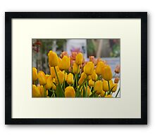 Yellow tulips at the RHS Chelsea Flower Show Framed Print