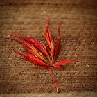Japanese Maple by Claire Walsh