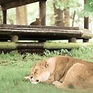 Sleeping lion by AmyMicheleW