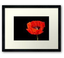 close up orange poppy in the sun Framed Print