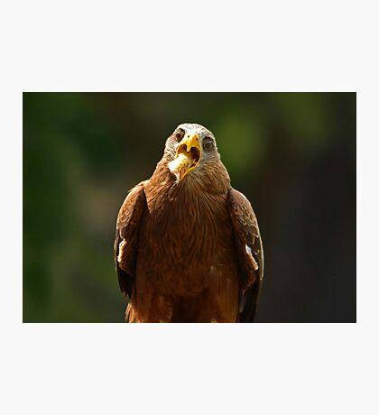 Hawk Eating Chicken Photographic Print