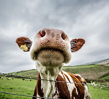 Silly Cow by Heidi Stewart